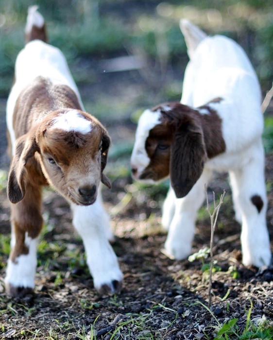 Baby Goat Kids 1.jpg