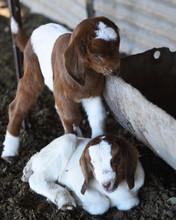Baby Goat Kids 2.jpg