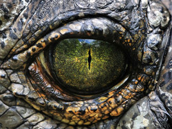 Crocodile eye.jpeg
