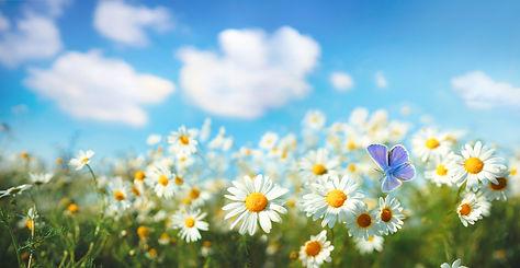 Chamomiles daisies macro in summer sprin