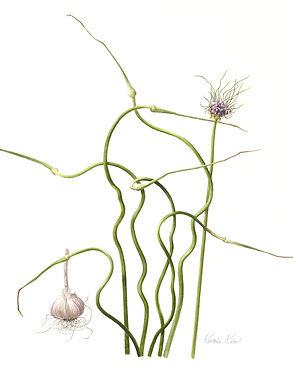 market-Garlic (Allium sativum)-9880.jpg