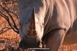 Rhino on foot (3)