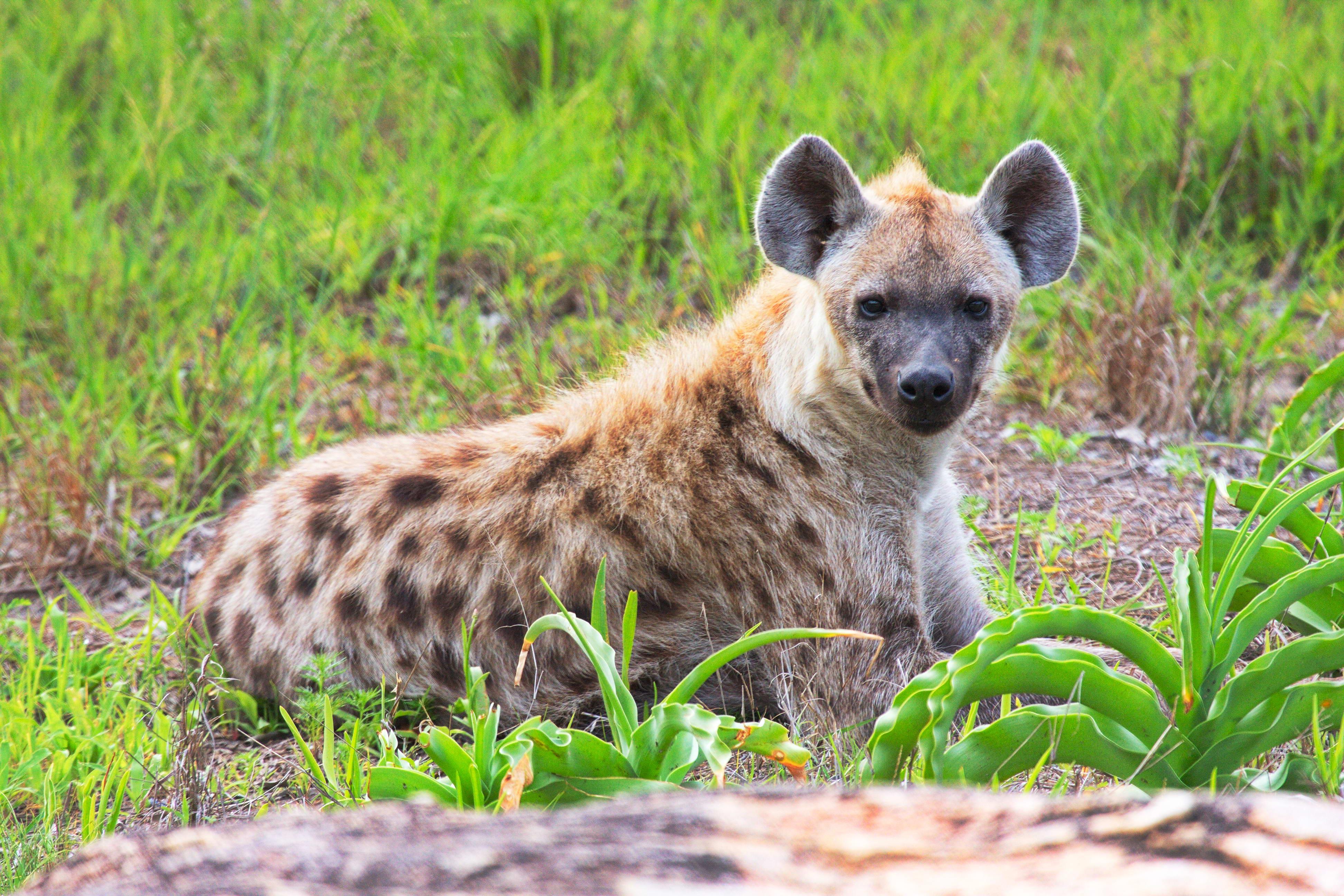 Juvenile Hyena