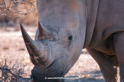 Rhino on foot (1)