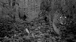 jaguar_camera_trap_ed.png