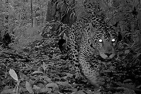 jaguar_camera_trap_ed_2.jpg