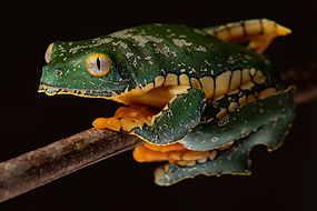 fringed_leaf_frog_Cruziohyla_FLP.jpg