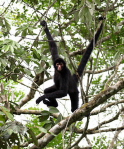 spider_monkey_Candamo.jpg