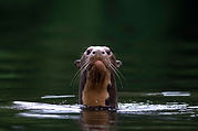 giant_otter_Manu.jpg
