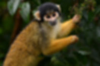 squirrel_monkey_Tambopata.jpg