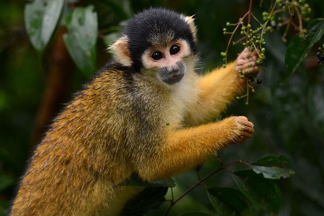 squirrel_monkey_Tambopata.jpg
