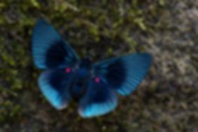 Riodinidae_Asuncion_Manu.jpg