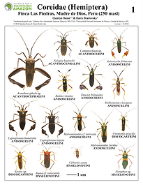 thumbnail_Coreidae field guide.png