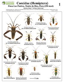 thumbnail_Coreidae field guide.png