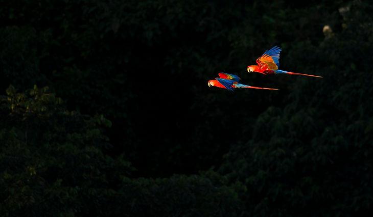DSC_1742_ed_3.5x6_scarlet macaws.jpg