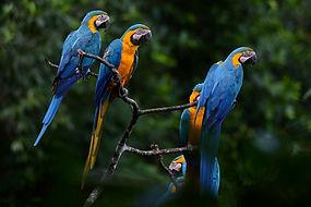 14344365826_dc8d50a176_o_macaws.jpg