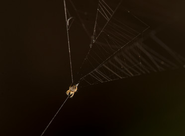 Slingshot spider, wound up and ready to strike