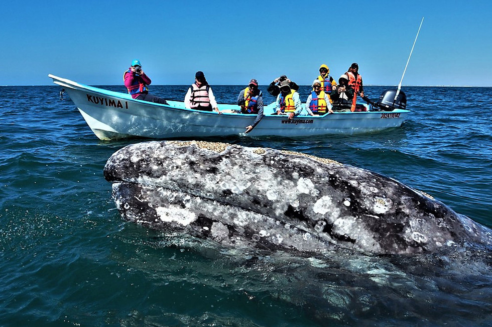 Grey Whale watching