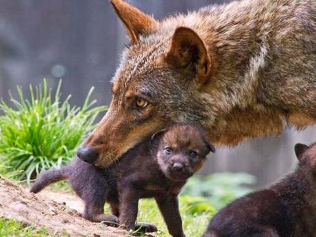 Lupi a rischio estinzione, colpa dell'ibridazione coi cani
