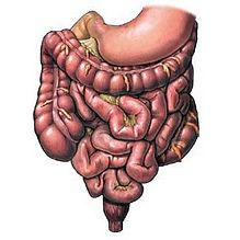 intestino umano.jpg
