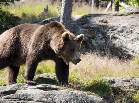 In Trentino la Lega vuole licenza di uccidere gli orsi