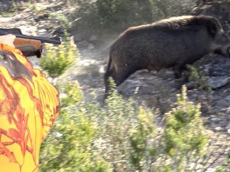 La caccia aumenta i cinghiali, parola di scienziato