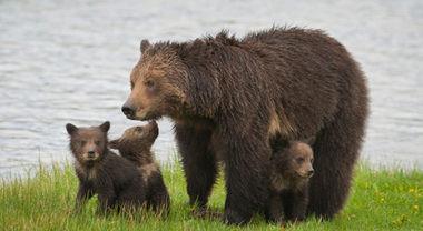 Trump autorizza la caccia agli orsi ed ai lupi