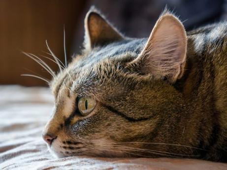 Trovata variante inglese in un gatto