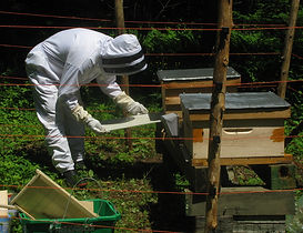 Inserting a sticky tray for monitoring a newly established colony