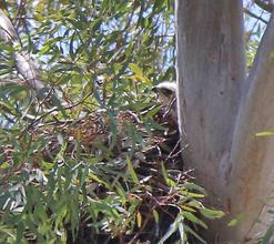 Hawk's nest