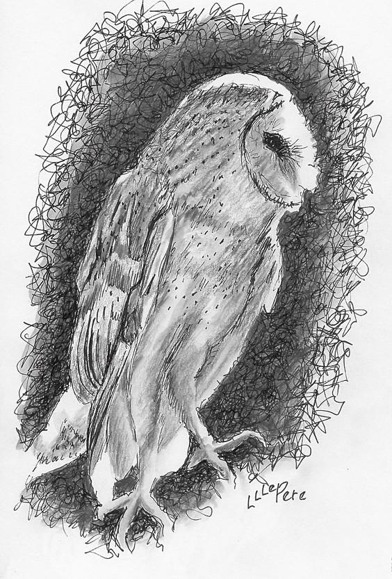 Barn Owl Backlit