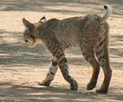 Bobcat at Sweetwater