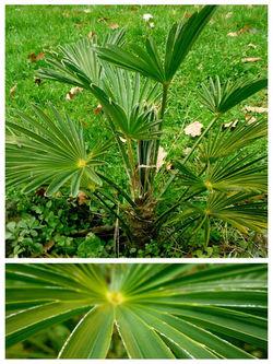 Trachycarpus Vagnerianus
