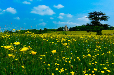 Buttercups At Croome