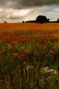 Poppies Galore