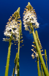 Towering Foxtail Lily