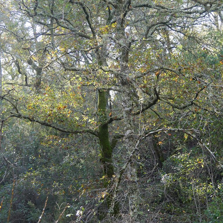 A floresta de Carvalhos de Monchique perto de Relva Grande, Odemira