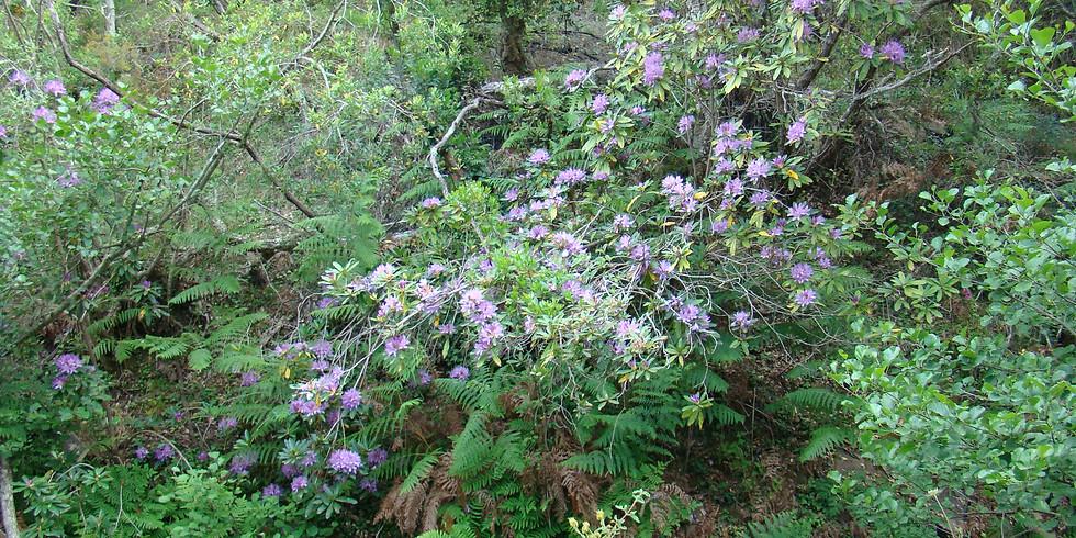 Adelfeiras em flor – Vale da Ribeira da Azenha