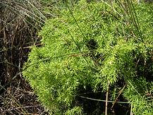 JuniperusNavicularis.jpg