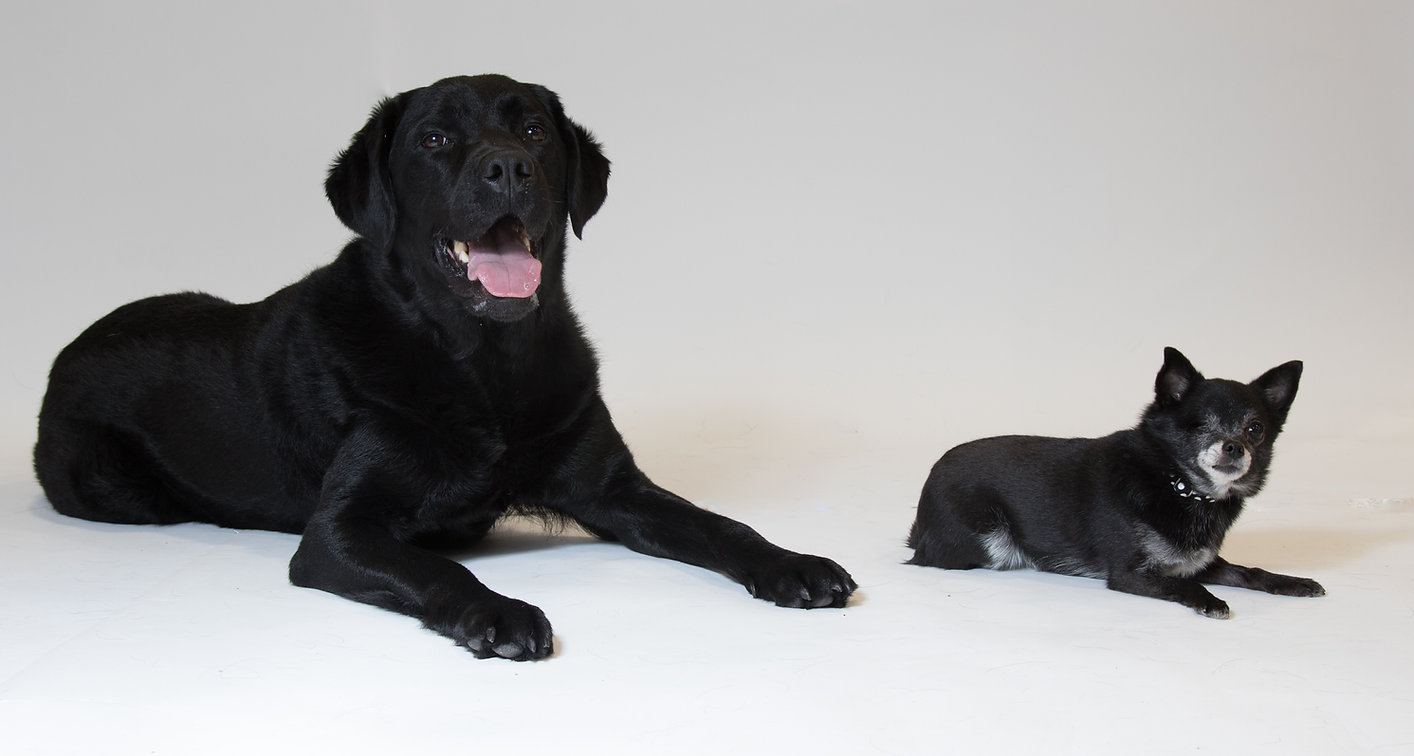 Labradors.jpg