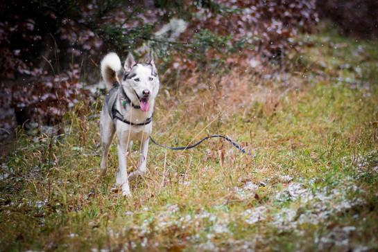 Siberian Husky Shooting