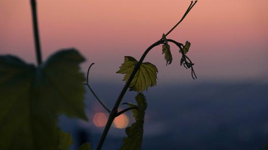 Sundown in Stuttgart vineyards
