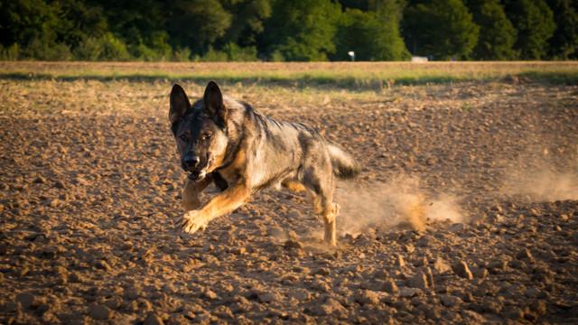 Schäferhundin Sanna