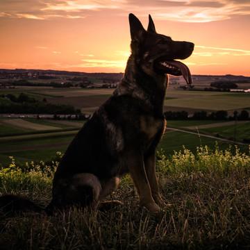 Schäferhund Sanna