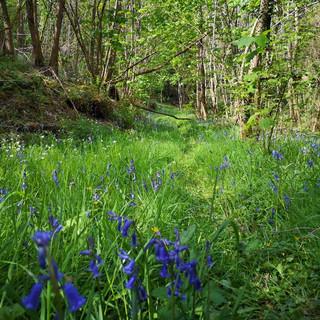fleurs-clochettes-violettes--parc-domain