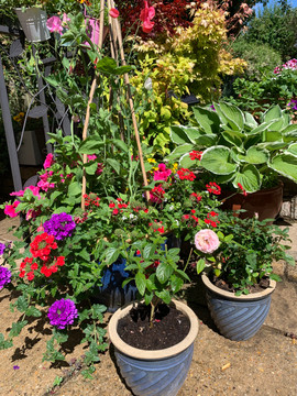 Patio pots sweet pea.jpg