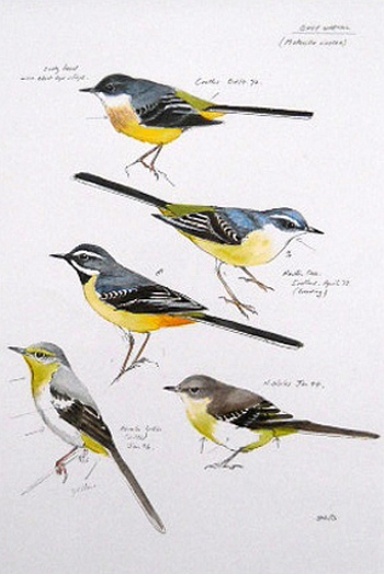 Grey Wagtail - Edition of 500