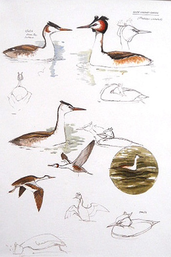 Great Crested Grebe - Edition of 500