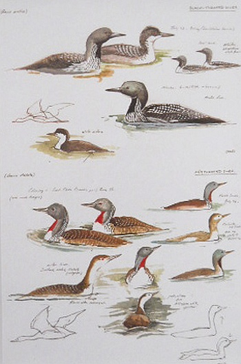 Black Throated Diver - Edition of 500