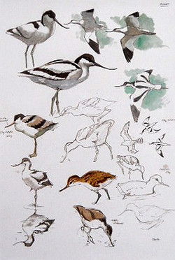 Avocet - Edition of 500
